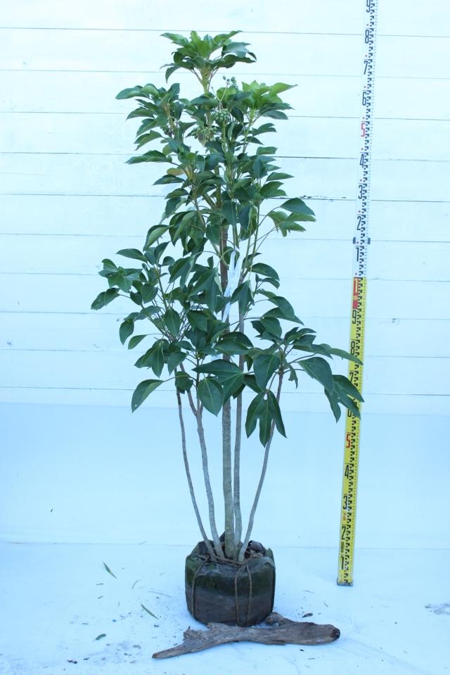 【植木市-008】  カクレミノ 株立ち 高さ約 1.5 m