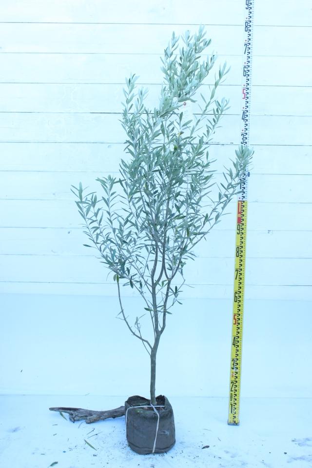 【植木市-011】  オリーブ ミッション 高さ約 1.5 m
