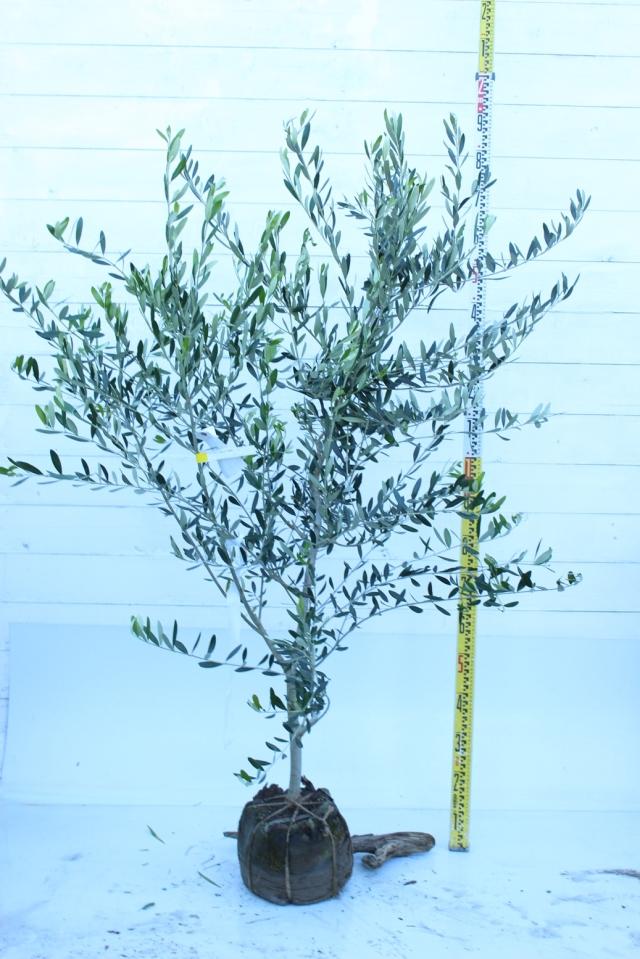 【植木市-012】  オリーブ 高さ約 1.5 m