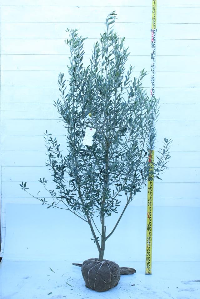 【植木市-013】  オリーブ シプレッチーノ 高さ約 1.5 m