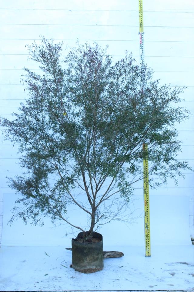 【植木市-015】  カッパーグロー 高さ約 1.5 m 幅約 1.0 m