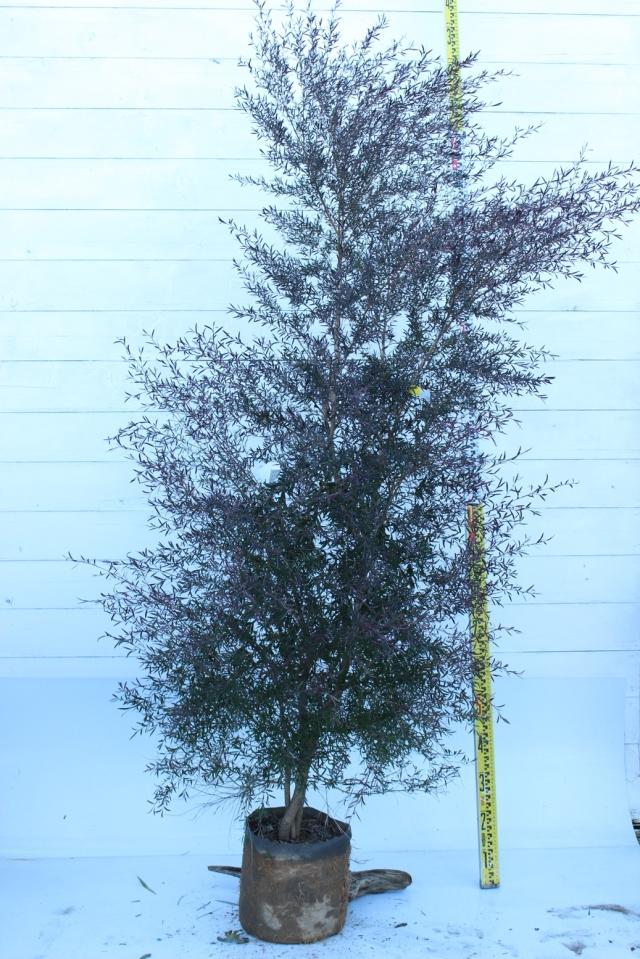 【植木市-016】  カッパーグロー 高さ約 2.0 m 幅約 1.0 m