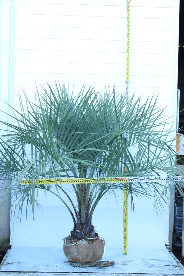 植木市024 ココスヤシ