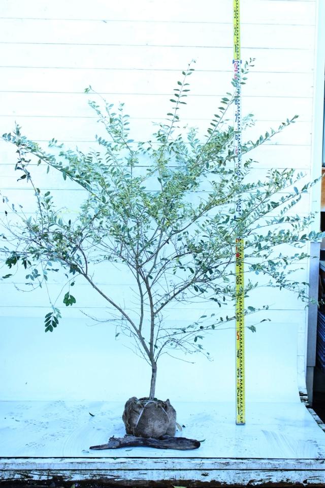 【植木市-032】  シルバープリペット 高さ約1.5 m 幅約1.0 m