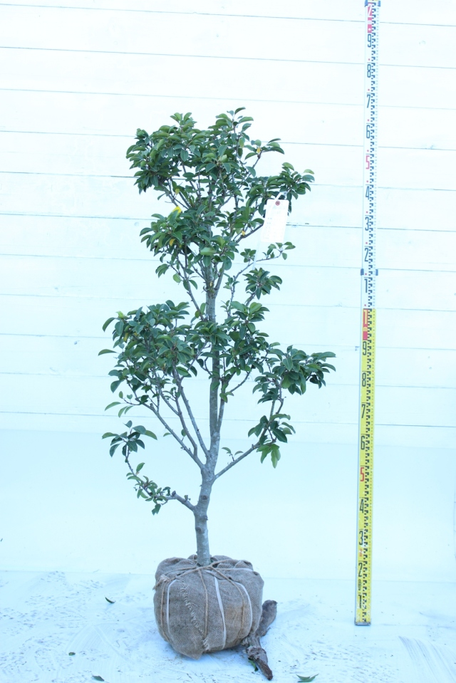 【植木市-034】  ソヨゴ 高さ約1.4 m