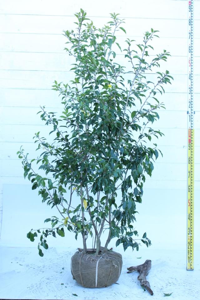 【植木市-035】  ソヨゴ 株立 高さ約1.5 m 幅約0.8 m