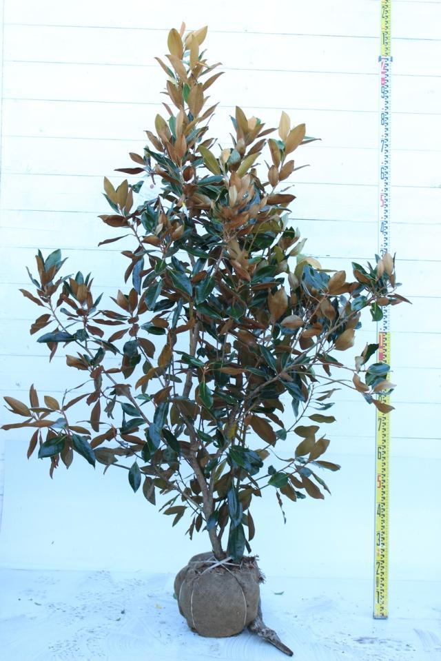 【植木市-036】  タイサンボク リトルジェム 高さ約1.8 m 幅約0.8 m