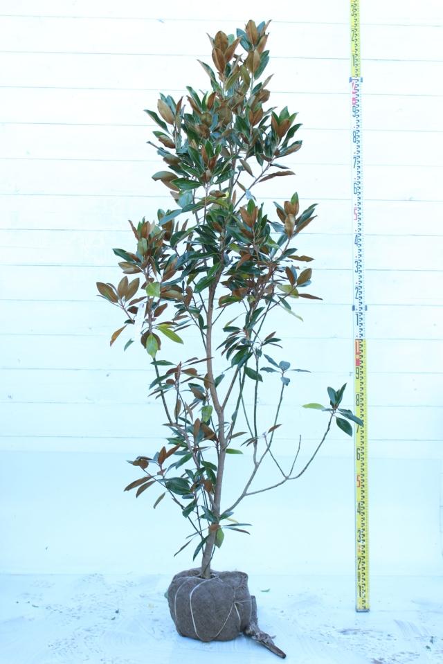 【植木市-037】  タイサンボク リトルジェム 高さ約1.8 m