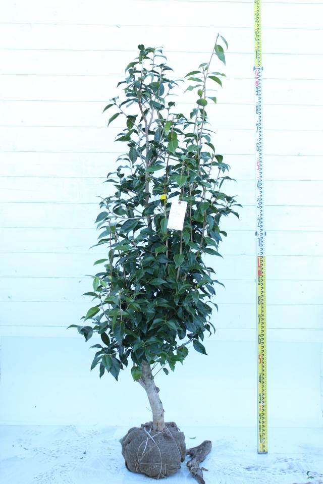 【植木市-038】  椿 太郎冠者 高さ約1.8 m