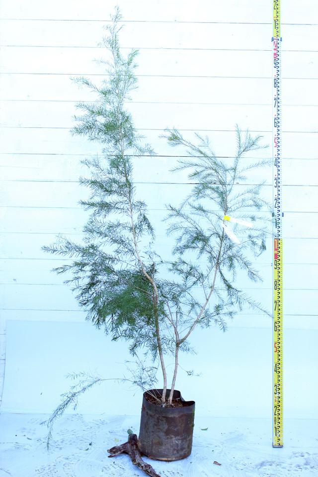 【植木市-039】  ティーツリー 高さ約1.8 m