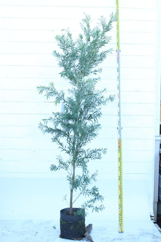 【植木市-040】  ドーソンリバー 高さ約2.0 m
