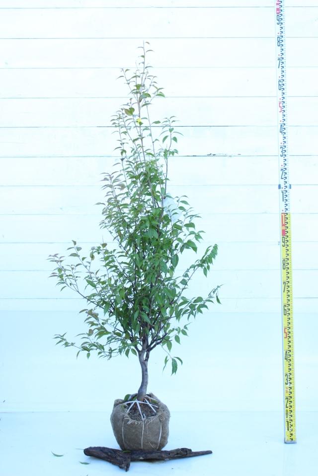 【植木市-041】  トキワエゴ 高さ約1.5 m