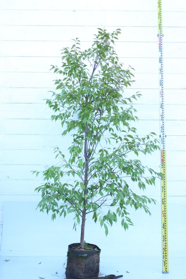 【植木市-043】  トキワエゴ 高さ約1.8 m