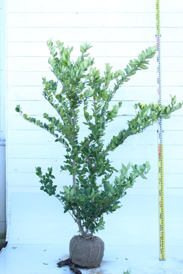 【植木市-044】  ネズミモチ ハワディ 高さ約1.5 m 幅約0.8 m