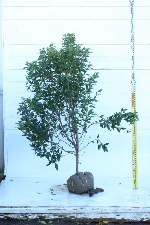 【植木市-045】  ビバーナム イブプライス 高さ約1.5 m