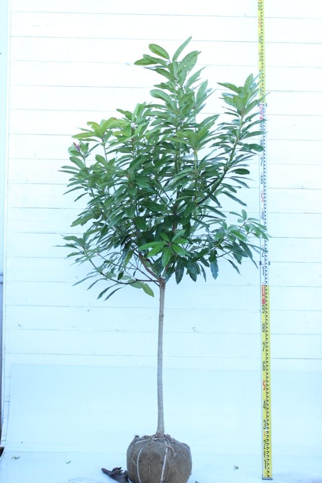 【植木市-047】  ヒメユズリハ 高さ約2.0 m 幅約0.8 m