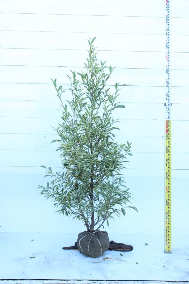 【植木市-048】  フイリサカキ 高さ約1.5 m