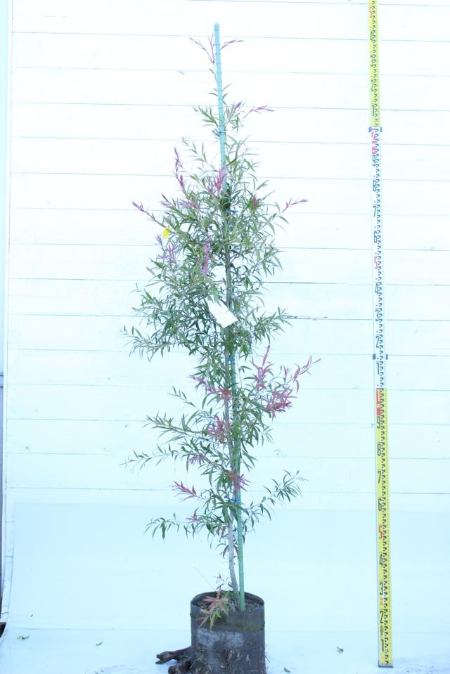 植木市049 ブラシノキ ピンク