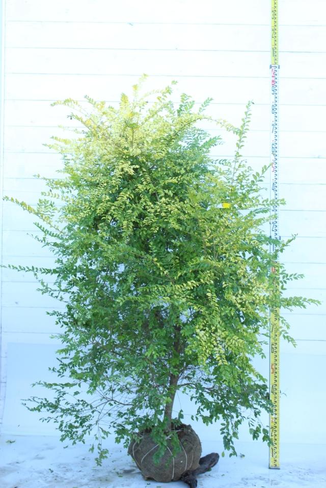 【植木市-054】  プリペット レモンライム 高さ約 1.5m 幅約 1.0m
