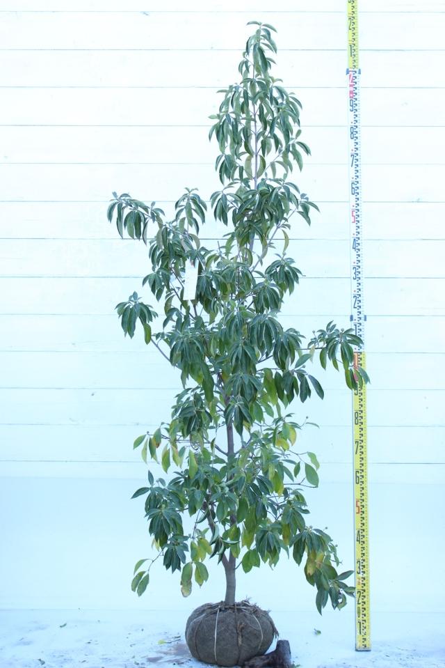 【植木市-055】  ホンコンエンシス マウンテンムーン 高さ約 1.8m