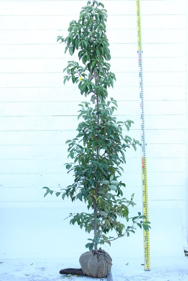 【植木市-056】  ホンコンエンシス 月光 高さ約 2.0m