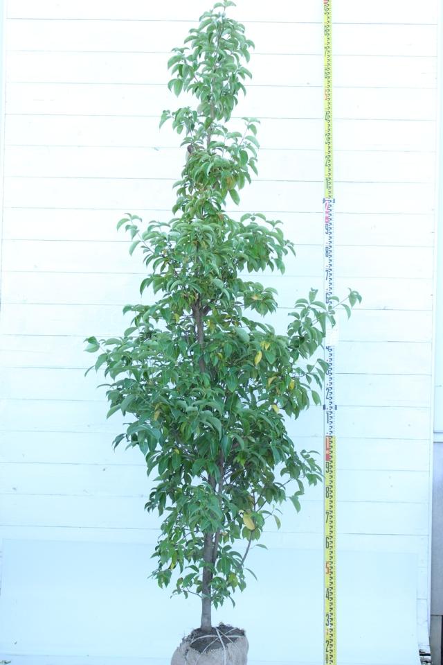 【植木市-057】  ホンコンエンシス 月光 高さ約 2.5m