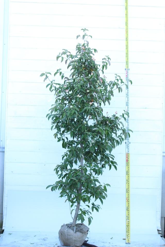 【植木市-058】  ホンコンエンシス 月光 高さ約 2.0m