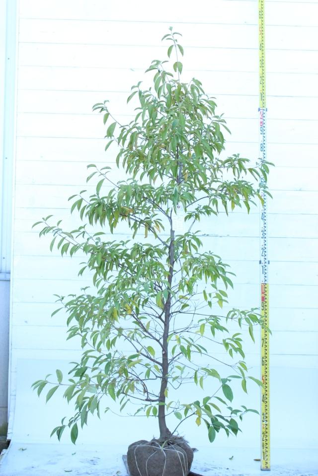 【植木市-059】  ホンコンエンシス 新月 高さ約 2.0m