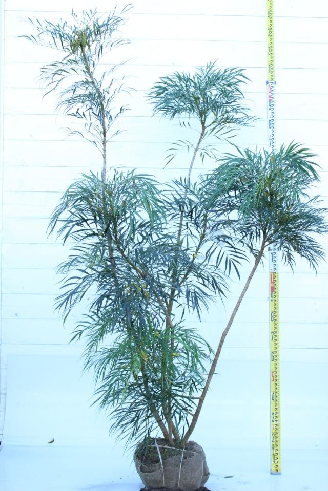 【植木市-061】  マホニアコンフーサ 高さ約 1.8m 幅約 0.8m