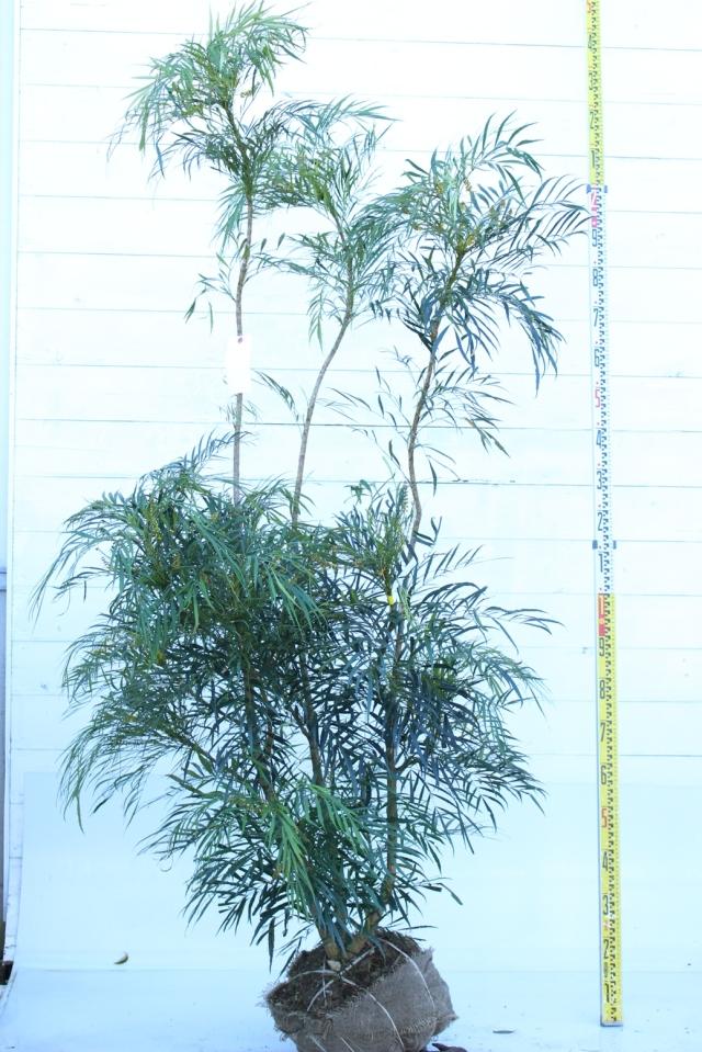 【植木市-062】  マホニアコンフーサ高さ約 2.0m 幅約 0.8m