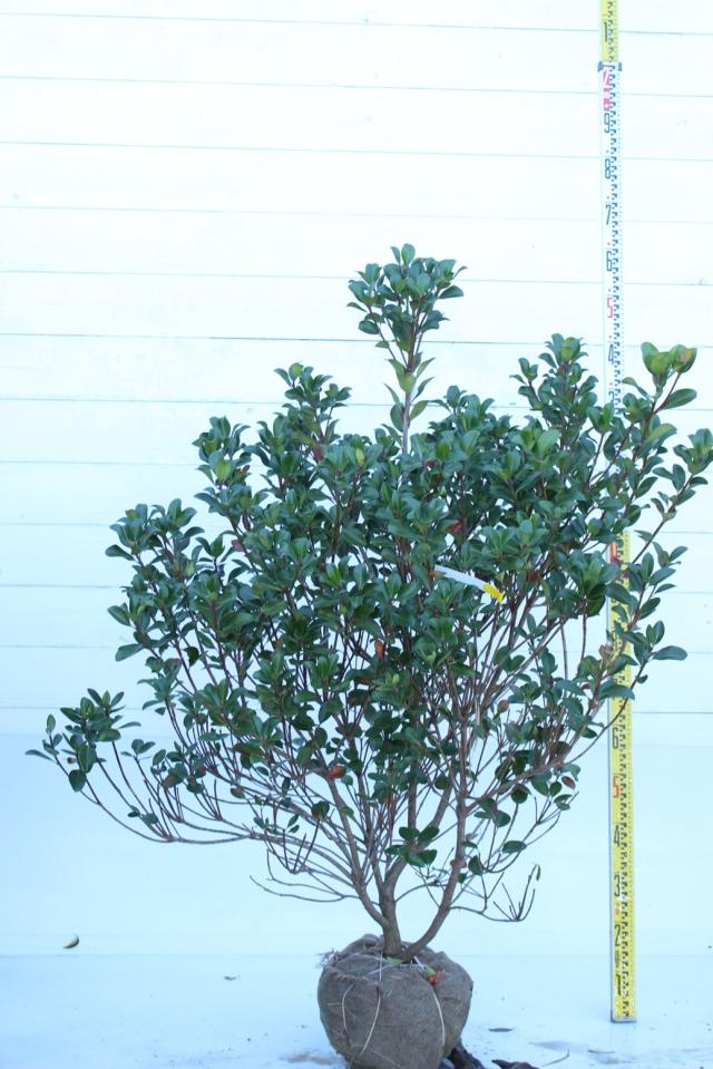 【植木市-063】  マルバシャリンバイ 高さ約 1.5m 幅約 1.0m
