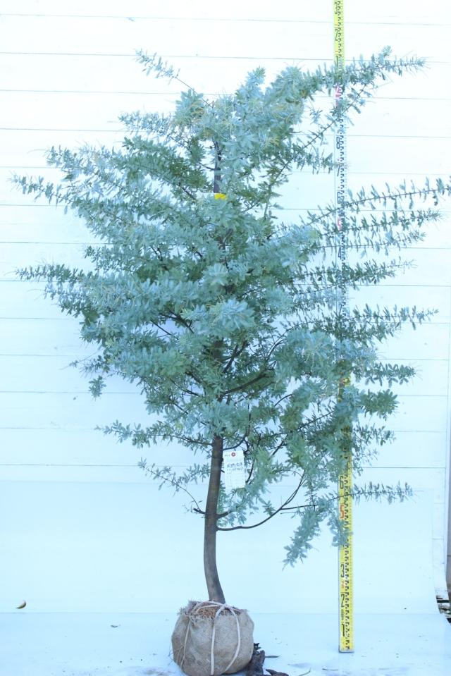 【植木市-064】  ミモザアカシア 高さ約 1.8m 幅約 1.0m