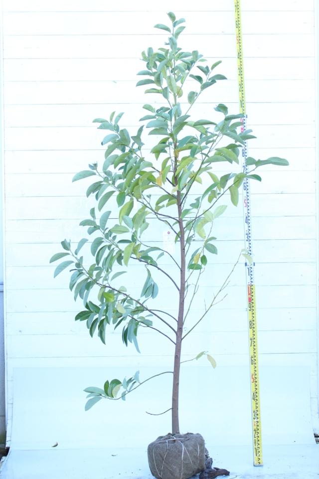 【植木市-65】  ミヤマガンショ 高さ約 2.3m