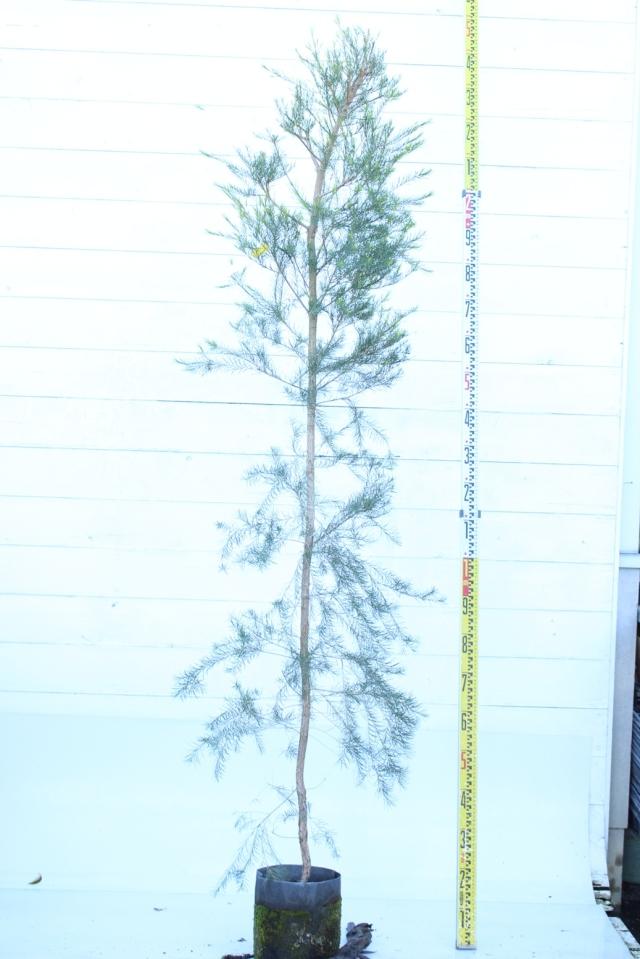 【植木市-066】  メラレウカ スノーインサマー 高さ約 2.0m