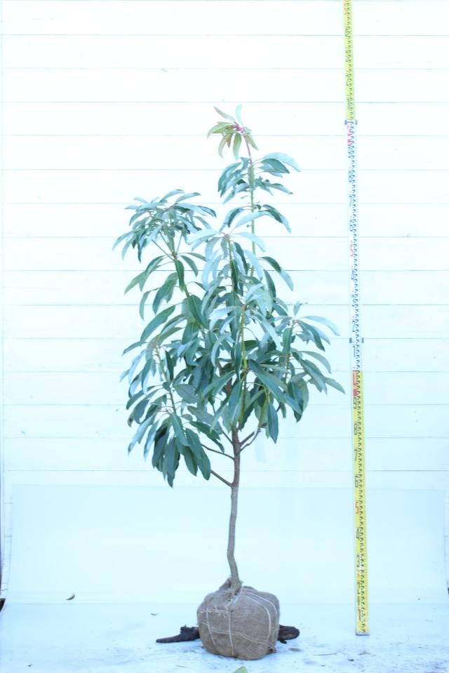 【植木市-067】  ユズリハ 高さ約 1.8m