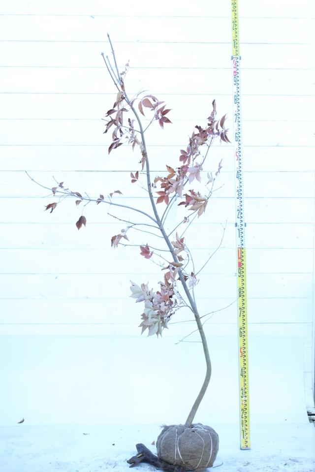 【植木市-068】  アオダモ 高さ約 1.8m 山採り風