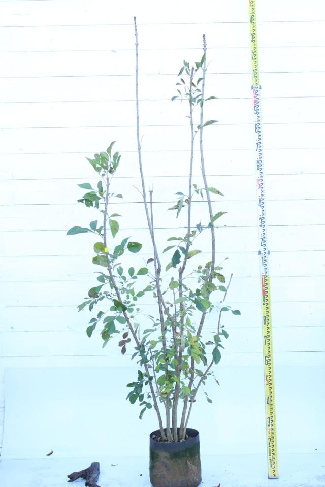 【植木市-069】  アオダモ 株立 高さ約 2.0m