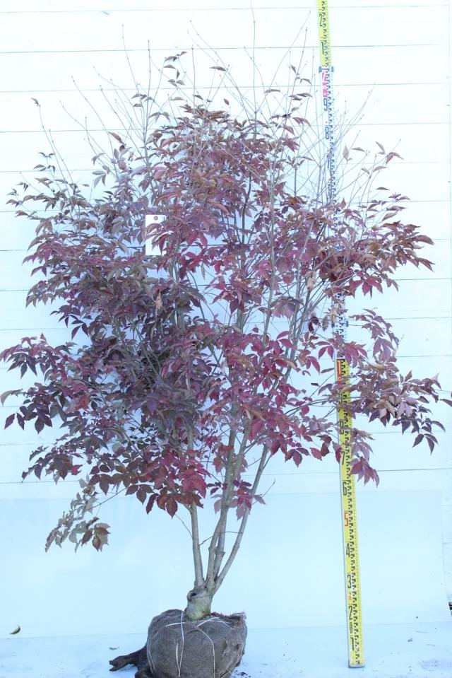 【植木市-070】  アオダモ 株立 高さ約 2.0m 幅約 1.0m