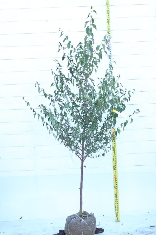 【植木市-073】  エゴ 高さ約 2.0m