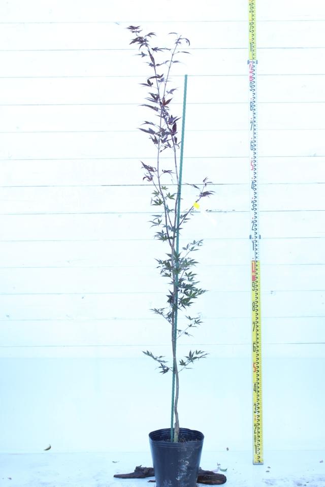 植木地075 ノムラモミジ
