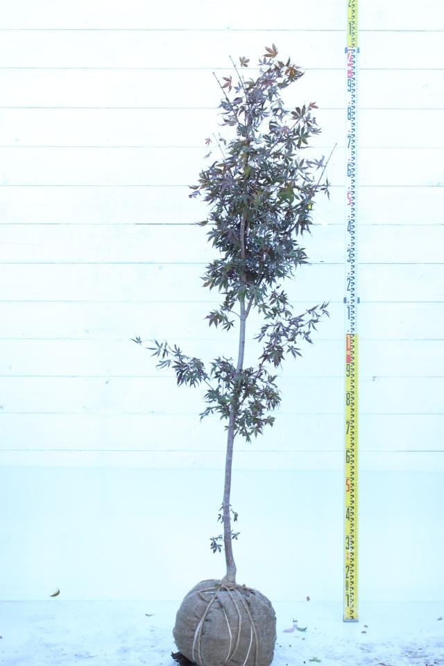 【植木市-076】  ノムラモミジ. 高さ約 1.8 m