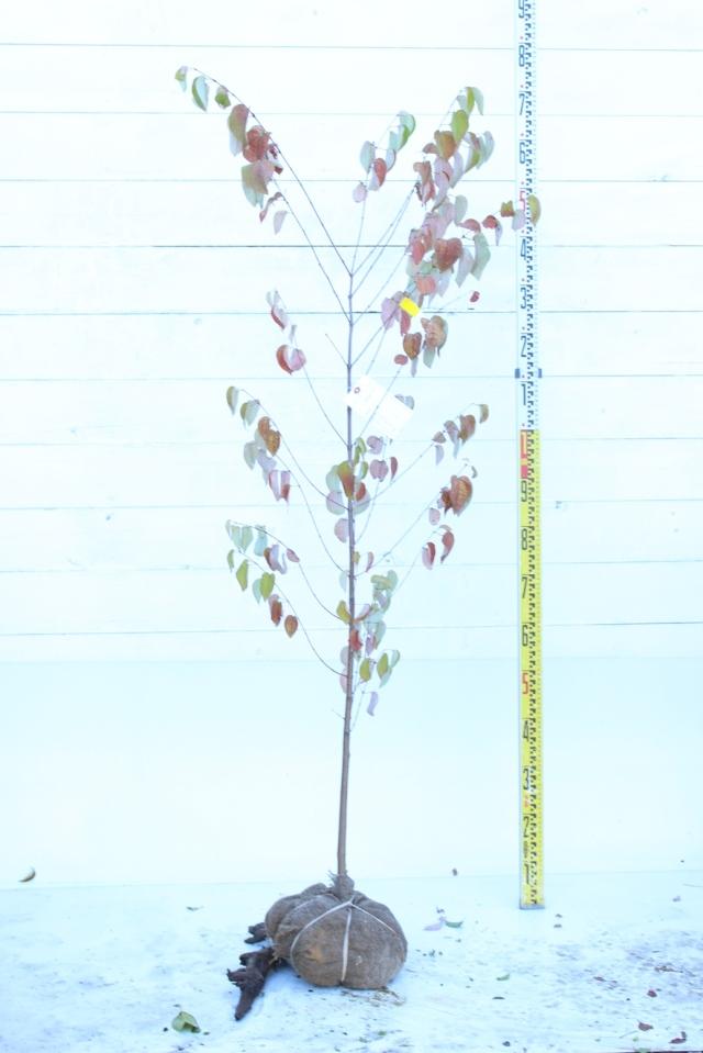 【植木市-077】  カツラ株立. 高さ約 1.5 m