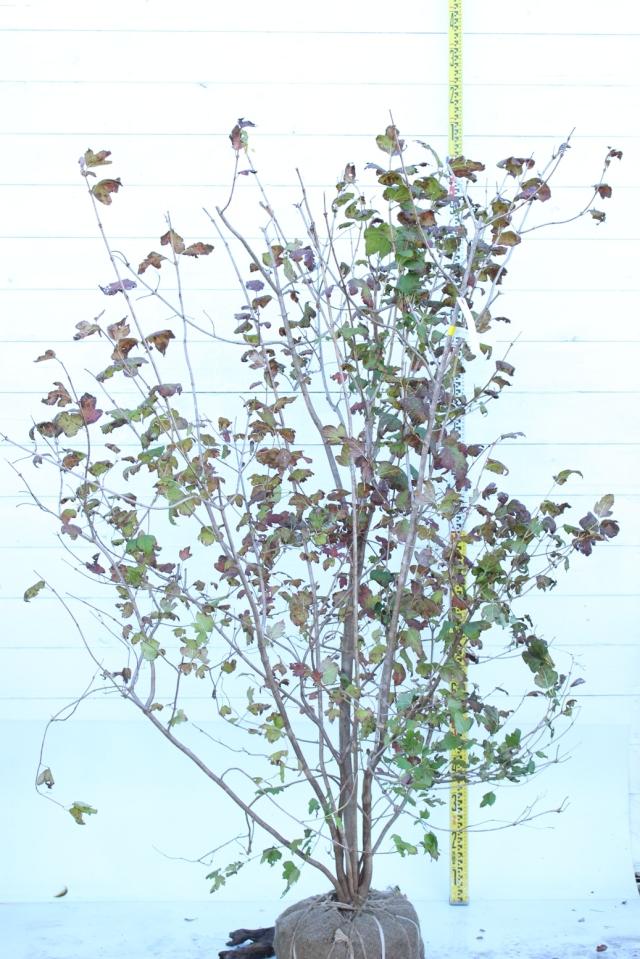 【植木市-079】  ガマズミ スノーボール 高さ約 1.8 m 幅約 1.0 m