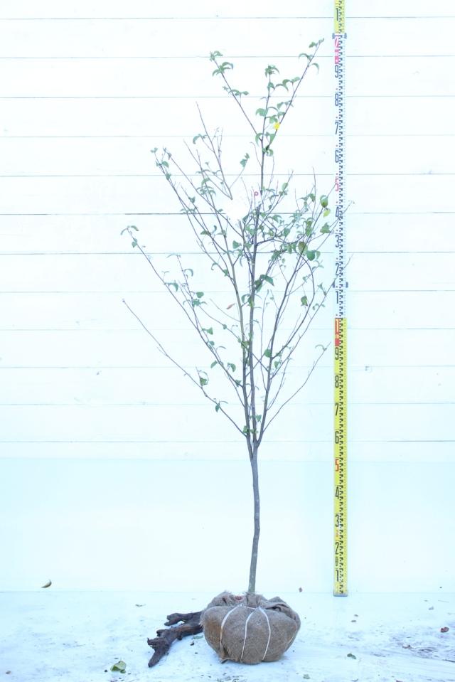 【植木市-080】  クロモジ 高さ約 1.8m