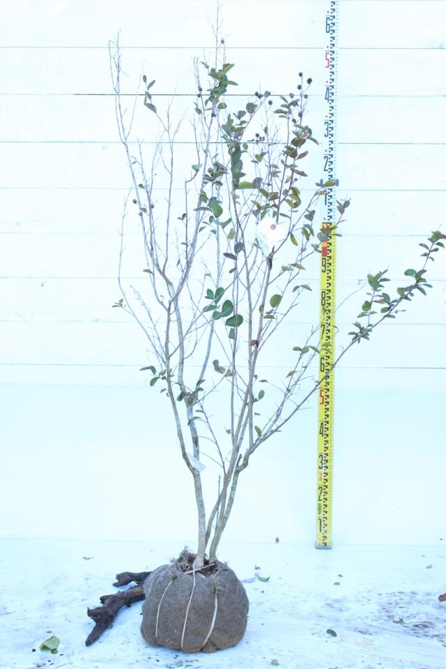 【植木市-081】  サルスベリ 夏祭り株立 高さ約1.5m
