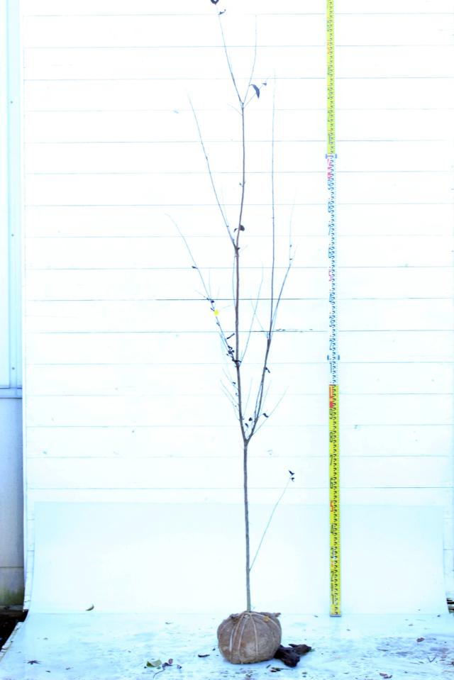 【植木市-083】  サルスベリ ブラックパール 高さ約 2.3m