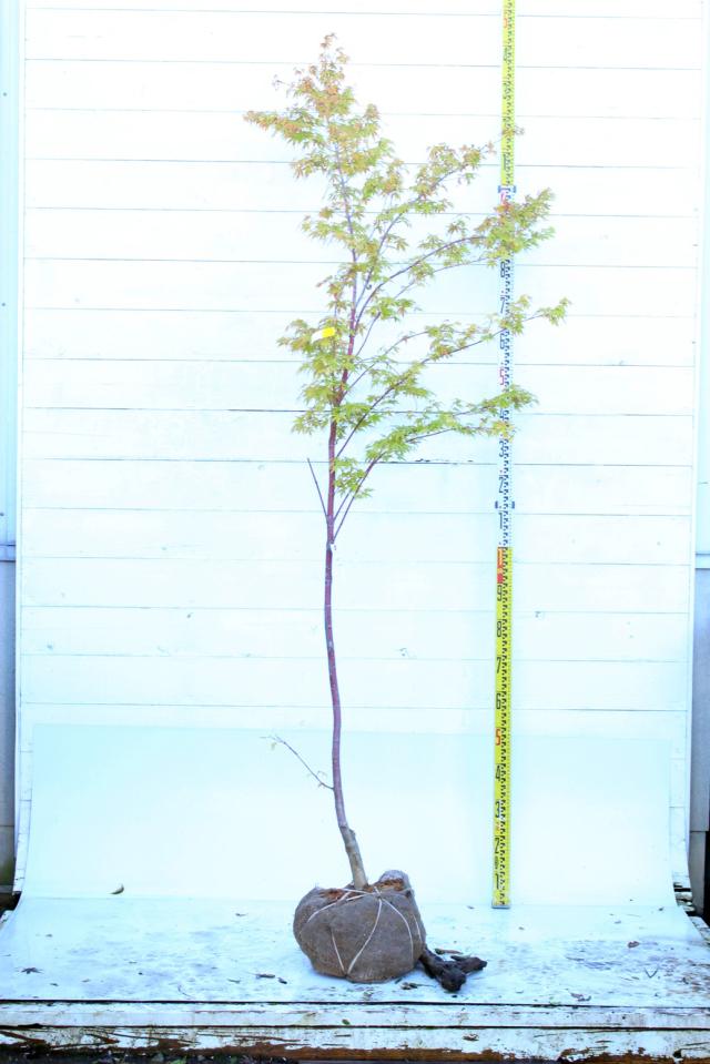 【植木市-084】  サンゴカクモミジ 高さ約2.0m