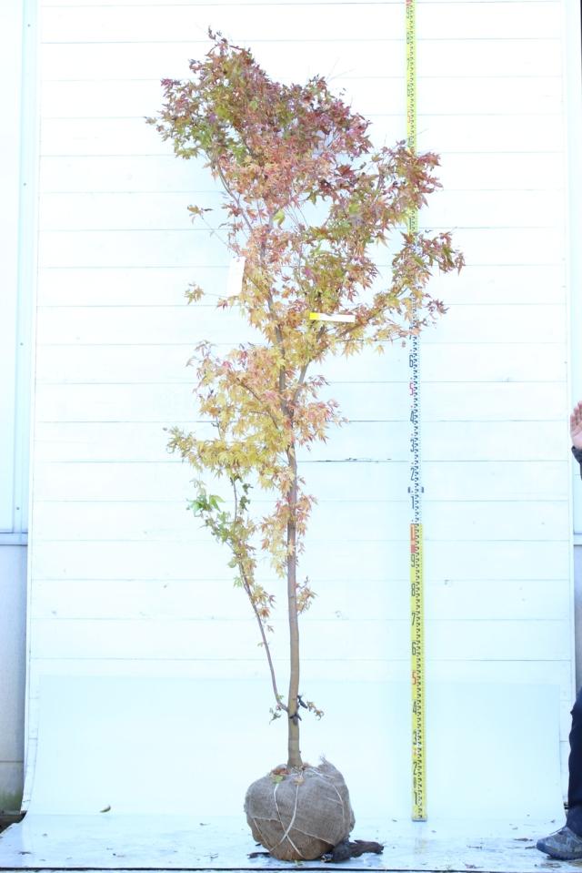 【植木市-085】  サンゴカクモミジ 高さ約2.3m
