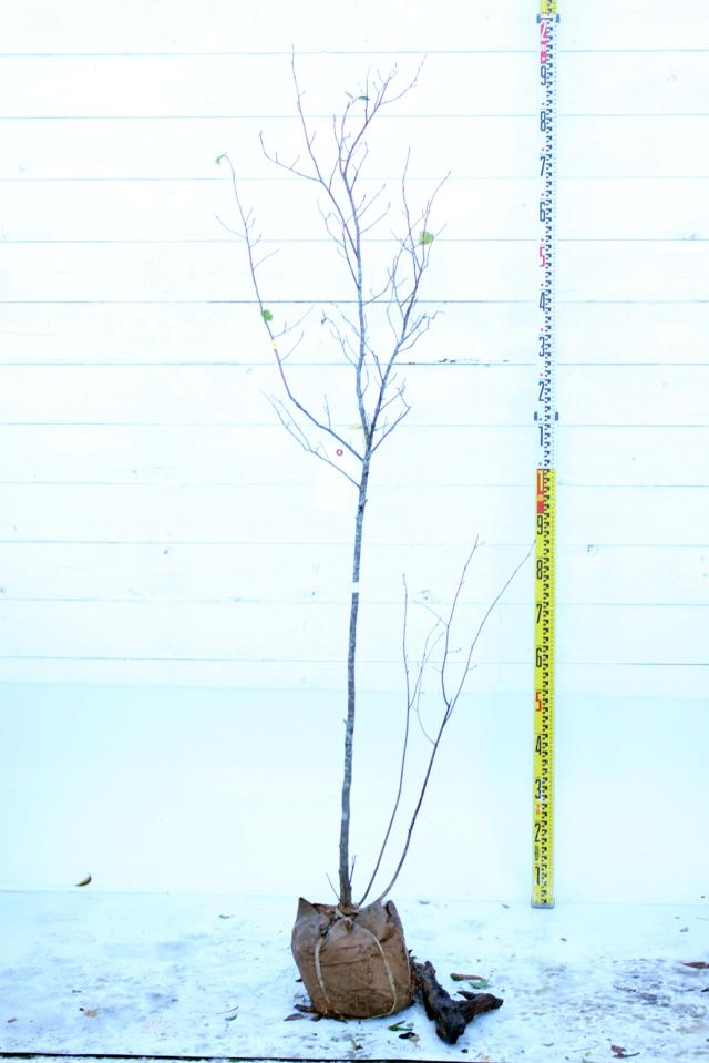 【植木市-086】  ジューンベリー 高さ約1.8 m