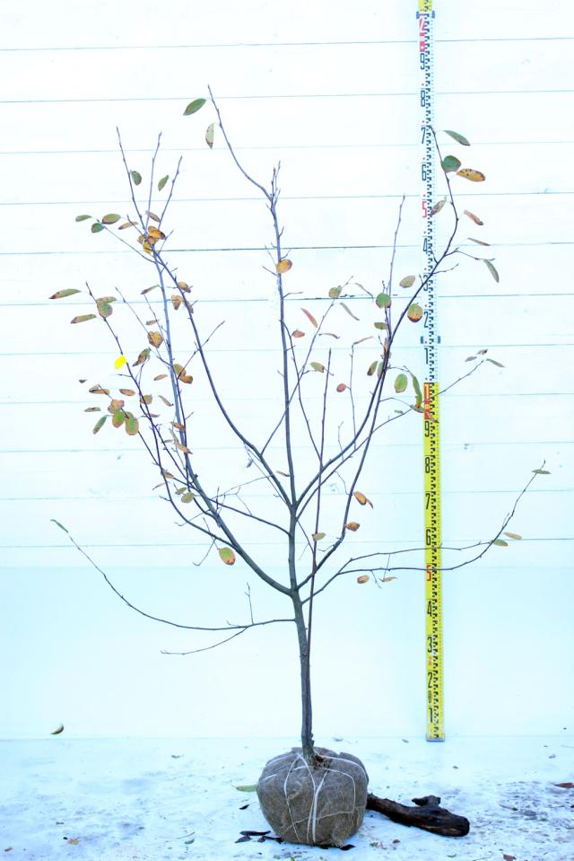 【植木市-087】  ジューンベリー ラマルキー 高さ約1.5 m 幅約0.8 m